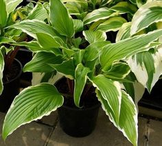 'Dragon Warrior' Hosta (medium) This bright and shiny introduction is H. 'Red Dragon' with a white edge. Long, pointed green leaves sport a clean white border that displays some rippling...same red petioles as its outstanding parent. Dark lavender flowers.