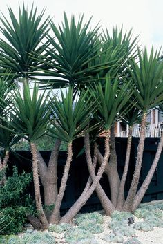 Nice upright variety of yucca. Yucca comes in many varieties. I really like these in the landscape. Succulent Landscaping, Tropical Landscaping, Modern Landscaping, Landscaping Plants, Tropical Garden, Succulents Garden, Landscaping Ideas, Landscaping Software, Desert Landscaping Backyard