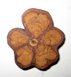 Ayahuasca - cross section of the dried root makes a pretty flower