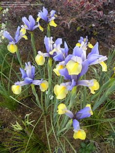 Dutch Iris hollandica 'Oriental Beauty' (De Graaff Bros., 1950)