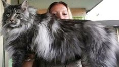 Large Maine Coon Cats For Sale Explore our guide to cats, kittens and their habitats. Learn about over a hundred different cat breeds and how to deal with tr Big House Cats, Big Cats, Cats And Kittens, Cute Cats, Gatos Maine Coon, Maine Coon Kittens, White Cat Breeds, Cats For Sale, Forest Cat