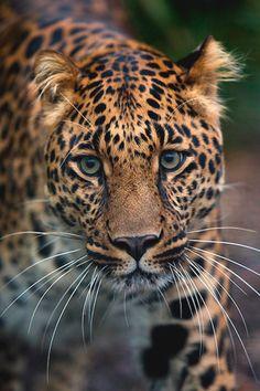 Leopard Portrait by Daniel Münger | LVSH