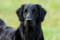 Image result for pictures of flat coated retrievers