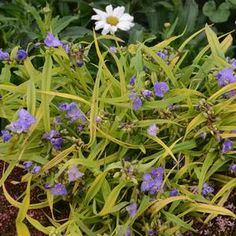 NEW for 2017! Get the look of grass with flowering capabilities when you plant Spiderwort 'Charlotte's Web'. A compact, easy to grow perennial that displays more intense color when planted in full sun. Enjoy lavender purple blooms along with the bright foliage. A great choice for planting along the waters edge, or bogs and use as a border, in containers or planted in masses. Hardy in zones 3-9.