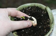 How to plant garlic (one clove produces up to twenty more) - you can always have fresh garlic!