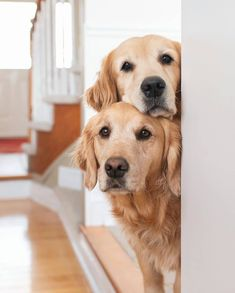 Golden Retriever mix breeds are the most saught after breeds of . Find out which Golden Retriever mix is perfect for you with 41 mix breed PICTURES. Chien Golden Retriever, Baby Golden Retrievers, Cute Dogs And Puppies, Doggies, Lab Puppies, Pet Dogs, Dog Cat, Terrier Puppies, Retriever Puppy