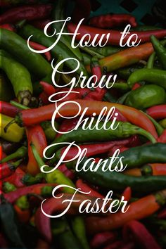 How to grow Chili Pepper plants faster from seeds - Garden Bagan Container Gardening, Gardening Tips, Worlds Hottest Pepper, Peter Wood, Chilli Seeds, Easy Vegetables To Grow, Seed Germination, Pepper Plants, Totem Poles