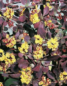 berberis-thunbergii-atropurpurea