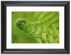 "11"" x 14"" Traditional Photography Prints / Wall Décor Nature Photograph: Fern Leaf Curl, Green. View all of the stunning Nature Photos by Landscape and Nature Photographer Melissa Fague at:  https://www.etsy.com/shop/PIPAFineart Limited edition fine art nature photography prints and canvas wraps are also available in a variety of sizes."