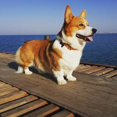 What a majesty. Cute Corgi, Corgi Dog, Cute Puppies, Dogs And Puppies, Dog Cat, Corgi Breeds, Cute Dogs Breeds, Corgi Pictures, Animal Pictures