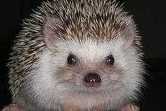 Image result for how big is an adult hedgehog