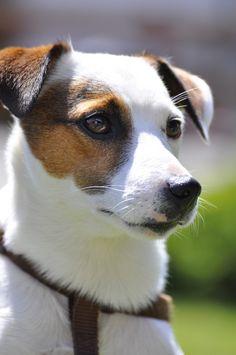 Jack Russel Terrier                                                                                                                                                                                 More