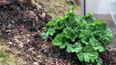 Deling og planting av rabarbra i skråning – Det grønne skafferi