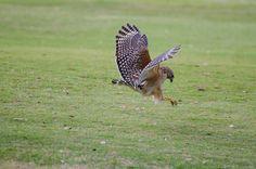 Hawk, Hunting. by camflan, via Flickr