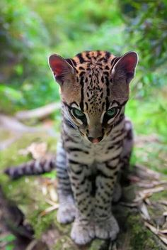 Ocelot...beautiful WILD animal....not your pet!