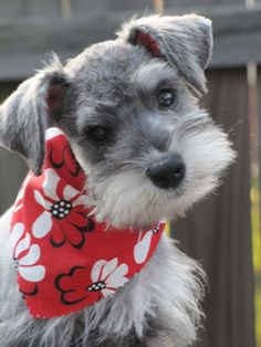 A community of Schnauzer lovers looking to connect, share, and learn from others who share the same passion for the breed.