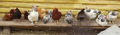 Raising Chickens 2.0: No More Coop and Run!  Advice on Permacuture Chicken Farming: rotating paddock system recommended as superior to chicken tractors, coops, and free range for healthier, more productive birds. Great article with tips on preventing predators, best chickens for laying and meat, lots more info!