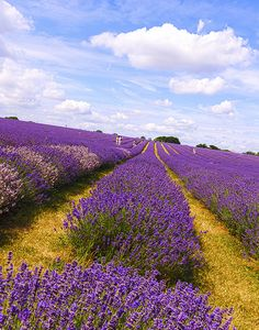beautiful colors in a lavender field