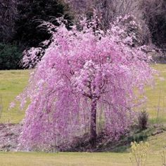 1000 images about weeping trees on pinterest weeping for Trees that stay small