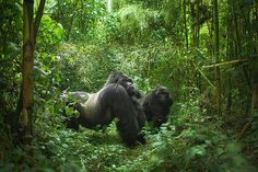 """Guhonda - the largest silverback mountain gorilla in the world - and a female companion at the 'Volcanos National Park', Rwanda."""