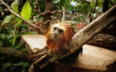 Credit: Peter Macdiarmid/Getty Images  A Golden-headed Lion Tamarin monkey sits in a tree at London Zoo's new exhibit 'The Clore Rainforest Lookout' opens on May 24, 2007 in London.