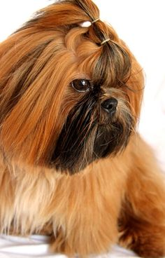 "Click visit site and Check out Cool ""Shih Tzu"" T-shirts. This website is outstanding. Tip: You can search ""your name"" or ""your favorite shirts"" at search bar on the top."