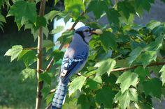 Blue Jay with 2 nuts ..must be shopping from yard to yard. Acorn not in ours