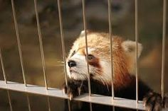 Image result for china's red panda
