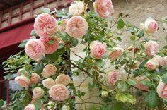 Beautiful roses outside of the Chateau du Clos Lucé Parc Leonardo da Vinci