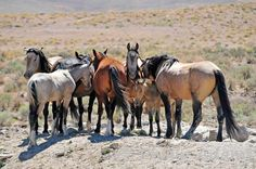 A band of wild horses relaxes in the heat of the day after filling up on water. Some may drink as much as 10 gallons at a time. #NevadaWilds wild horses
