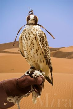 Hooded Saker Falcon, bred for hunting, perches on  glove