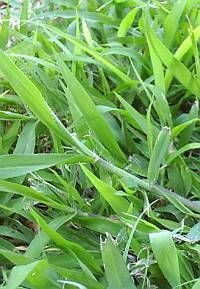 Crabgrass Killer For St Augustine Grass Cleaning Diy