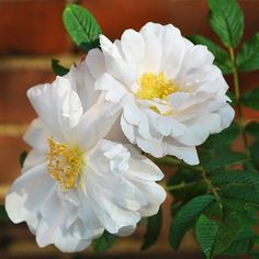 Henry Hudson rose variety: This tough shrub sports clove-scented white blooms and makes a resilient hedge along sidewalks and driveways. Grows 3 to 6 feet tall and 4 to 5 wide in Zones 3-7.