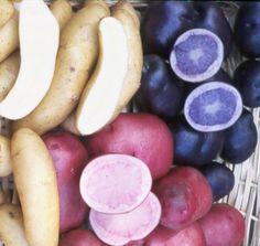 All Blue, Red Cranberryand Russian Banana Fingerling Potatoes