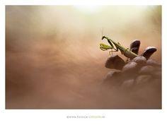 Madness Mantis - Patrick Goujon-photographe animalier et macrophotographie…