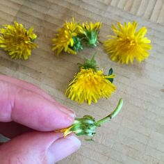 Dandelion jelly taste like spring sunshine in a jar! Grassy and sweet like honey, this recipe uses just enough sugar to let it set with low sugar pectin.