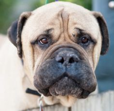 TX - Otis / Dallas/Ft. Worth is an adoptable Bullmastiff Dog in Bryan, TX. Otis is the very handsome father of Azari, Astor, Houdini, and Echo, and you can definitely see that good looks run in the fa...