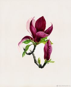 Magnolia, this color! Botanical Drawings, Botanical Illustration, Botanical Flowers, Botanical Prints, Watercolor Flowers, Watercolor Paintings, Flor Magnolia, Illustration Botanique, Plant Drawing
