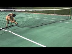 Puppy Tennis Net Fail - Three Million Dogs