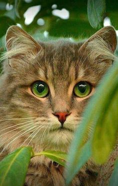 These pretty cats will make you amazed. Cats are wonderful creatures. Siamese Kittens, Cute Cats And Kittens, I Love Cats, Crazy Cats, Cool Cats, Kittens Cutest, Bengal Cats, Pretty Cats, Beautiful Cats