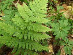 skogsbräken - Sök på Google Parsley, Herbs, Google, Herb, Medicinal Plants