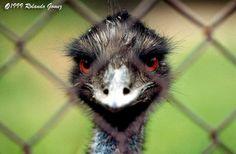 Female ostrich, Baltimore zoo.