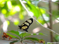 Registro feito no Bosque do Brooklin, bairro de São Paulo - SP, em Janeiro/14. #Borboleta #Butterfly