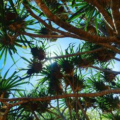 When it's almost time to go home and all I want to do is keep on looking up #pandanus #lastday #sunday Instagram Users, Instagram Posts, Looking Up, All Over The World, Most Beautiful Pictures, In The Heights, To Go, Told You So, Sunday