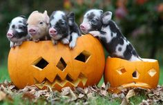 Teacup pigs in pumpkins......I seriously need one. I dont think jake and beans would mind.