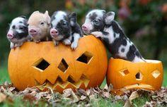 Little baby pumpkin pigs! :)
