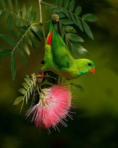 For More Beautiful Birds in Nature =========================== 🐦🐦Vernal hanging Parrot… Pretty Birds, Beautiful Birds, Animals Beautiful, Exotic Birds, Colorful Birds, All Birds, Love Birds, Animals And Pets, Cute Animals