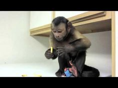 Cute pet monkey loves to eat french fries. Funny Animal Videos, Funny Animals, Cute Animals, Funniest Animals, Funny Pranks, Funny Fails, Rainforest Pictures, Animal Fails, Pet Monkey