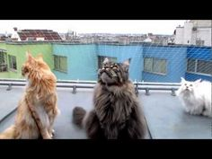 Talking to the city´s birds - our 3 super-cute Maine Coon´s favourite amusement. The main vocalist Flauschy is joined by his red brother Frieso - croaky backing vocals by Lilly. Funny Animal Videos, Funny Animals, Cute Animals, Cat Perch, Animal Rescue Site, Maine Coon Cats, Cat Supplies, Cat Sitting, Cat Gif