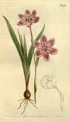 8430 Watsonia strictiflora Ker Gawl. / Curtis's Botanical Magazine, vol. 34: t. 1406 (1811) [S.T. Edwards]